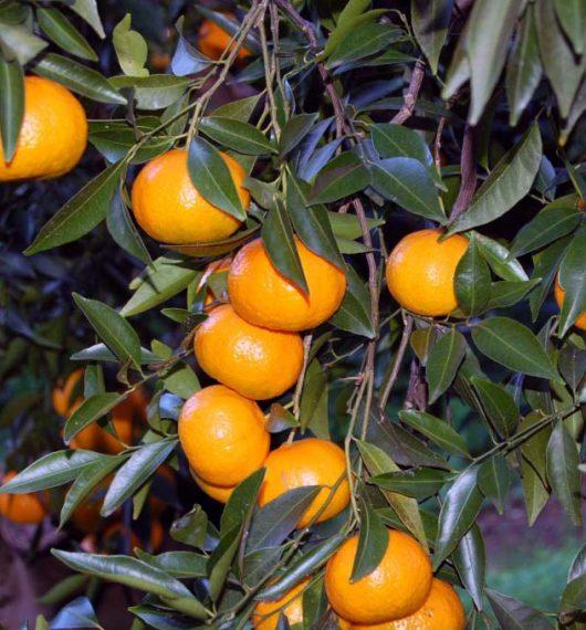 Consorzio Mandarino Tardivo di Ciaculli